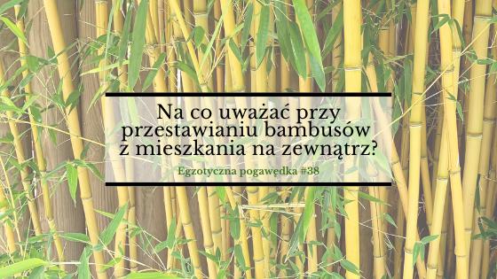 Na co uważać przy przestawianiu bambusów z mieszkania na zewnątrz? | Egzotyczna Pogawędka #38
