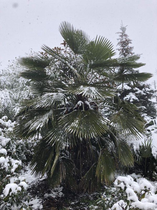 palma w ogrodzie szorstkowiec zimą