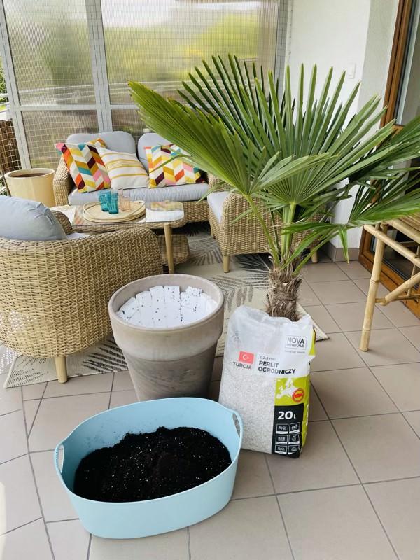 jak posadzić palmę szorstkowiec do donicy
