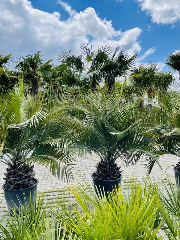 jaką wybrać palmę mrozoodporną