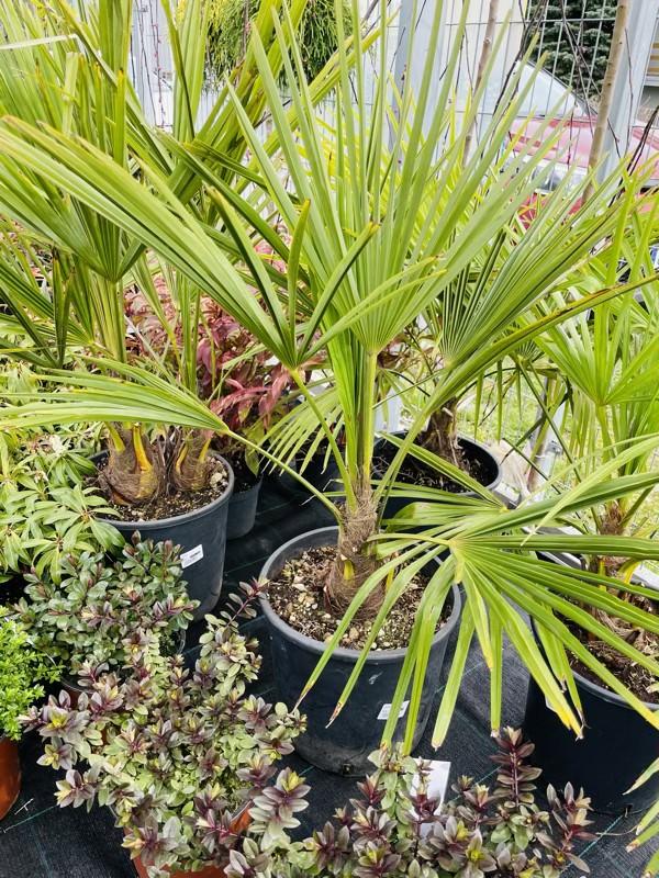 palma ogrodowa szorstkowiec fortunego