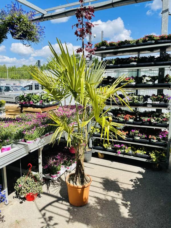 sadzonka szorstkowca palma ogrodowa gdzie kupić