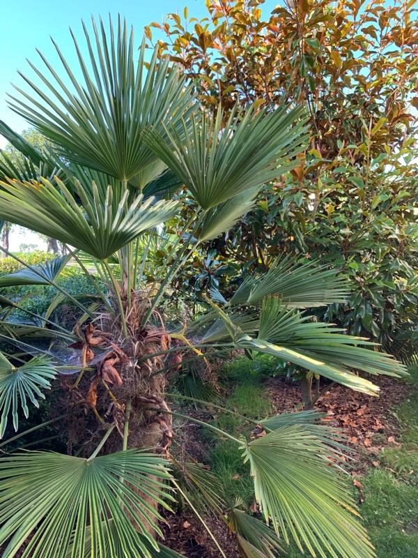 szorstkowiec wagnera trachycarpus wagnerianus palma ogrodowa